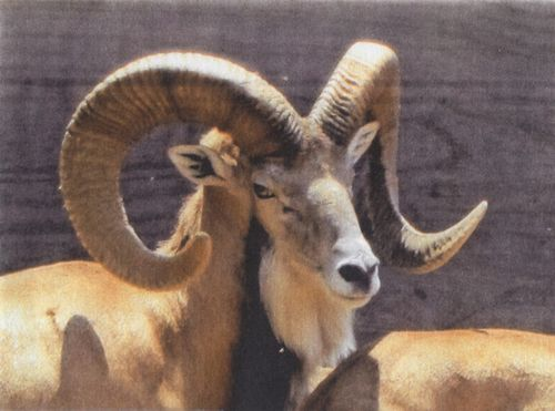 Urial6